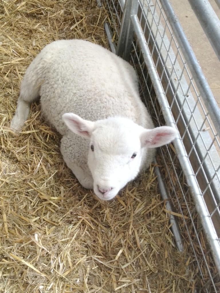 barleylands essex new lambs